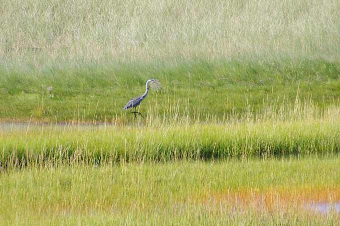 Blue Heron in Marsh
